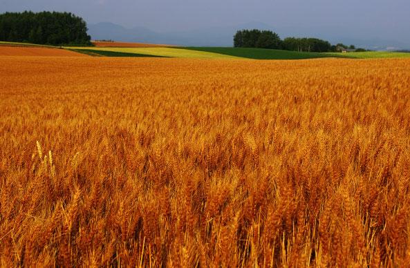 赤麦鮮烈|ビエイティフル - 北海道美瑛町公式ブランド